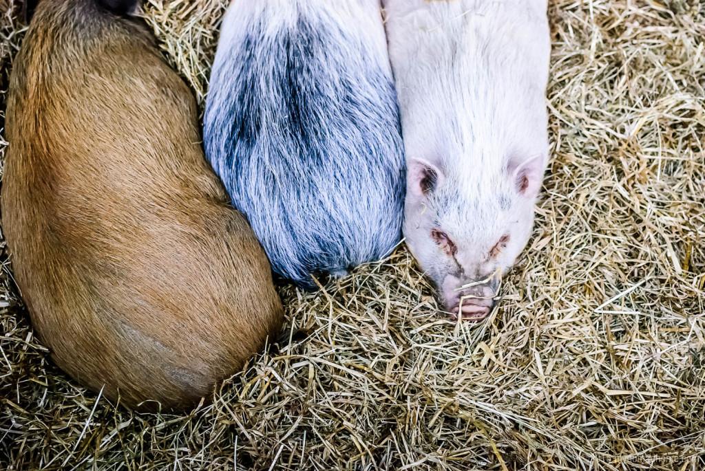 Pigs in Randers Regnskov